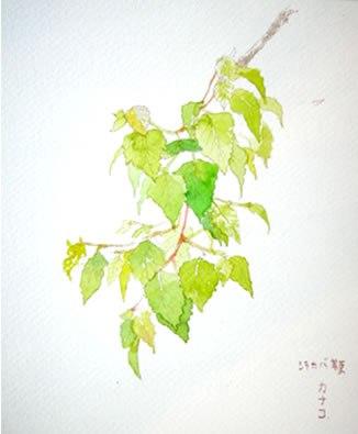 leaves - シラカバ若葉
